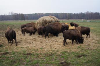 Galeria W Pacanowie kozy kują